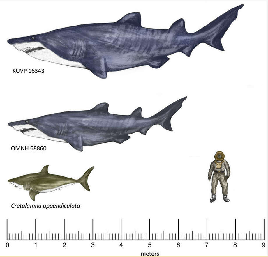 Researchers estimated the shark was at least 20 feet long, making it one of the biggest Texas predators of its era, 140 million years ago.Photo from Plos One open source journal Photo: Joseph A. Frederickson ,  Scott N. Schaefer,  Janessa A. Doucette-Frederickson