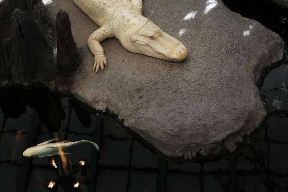 Claude is the Academy of Sciences' resident albino alligator. See a few of his likes and dislikes in the following slides. Photo: Sophia Germer, The Chronicle