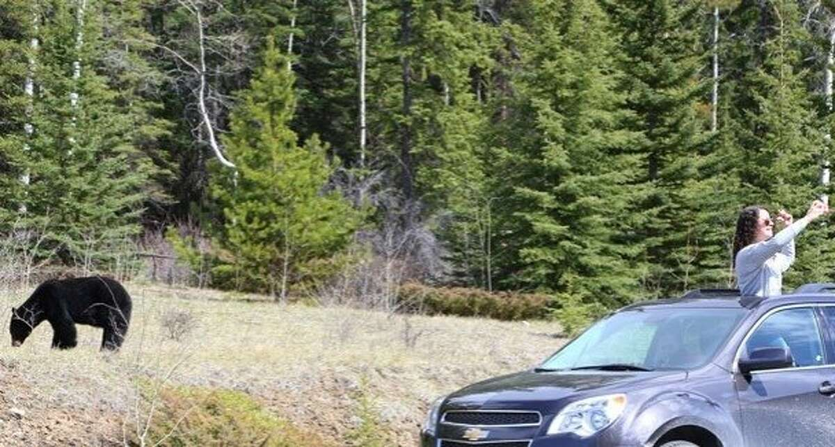 A woman stops along the road last week in Jasper National Park in Alberta and turned her back on this bear and to take a selfie -- a new and potentially dangerous phenomenon for tourists at parks across North America