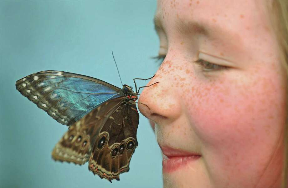 "Tropical butterflies will be spending the summer in Norwalk, Conn., with the opening of ""Flutter Zone,"" at the Maritime Aquarium at Norwalk. This walk-through exhibition brings the creatures close to the guests as they flitter around their enclosed riverfront courtyard. The show begins on Saturday, May 23, 2015. Photo: Contributed Photo / Stamford Advocate Contributed photo"