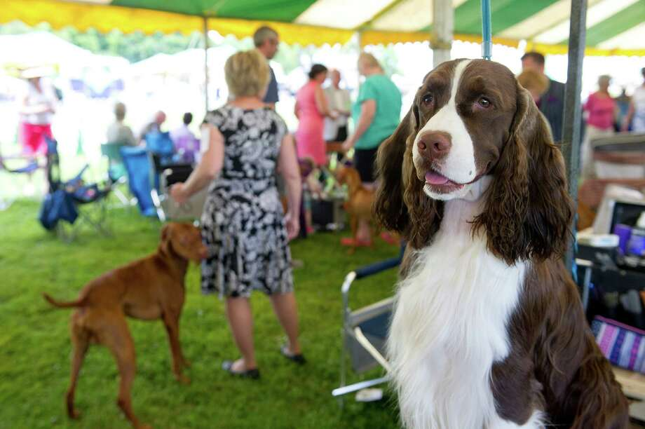 Nancy Bitters of Waterford, Conn., grooms her English Springer Spaniel, Danny, during the Greenwich Kennel Club's All-Breed Dog Show at Taylor Farm Park in Norwalk, Conn., on Saturday, June 7, 2014. This year's show returns to the park on Saturday, June6, 2015, with nearly 140 breeds in attendance. Photo: File Photo, Lindsay Perry / Stamford Advocate