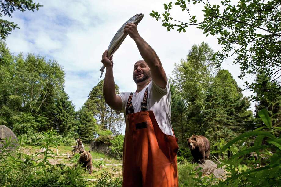 "Pike Place Fish Market employees return to Woodland Park Zoo for the annual salmon toss to 21-year-old grizzly bear brothers, Keema and Denali, photographed Thursday, June 4, 2015, in Seattle, Washington. The event paves the way for Saturday's annual ""Bear Affair: Living Northwest Conservation Day,"" intended to help zoo-goers learn about what these animals need to survive in the wild with, how to help keep them safe and what humans can do to peacefully co-exist. Photo: JORDAN STEAD, SEATTLEPI.COM / SEATTLEPI.COM"