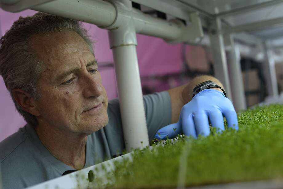 Farm manager Ron Mitchell, 65, inspects a batch of kale in Berkeley. Photo: Brandon Chew, The Chronicle