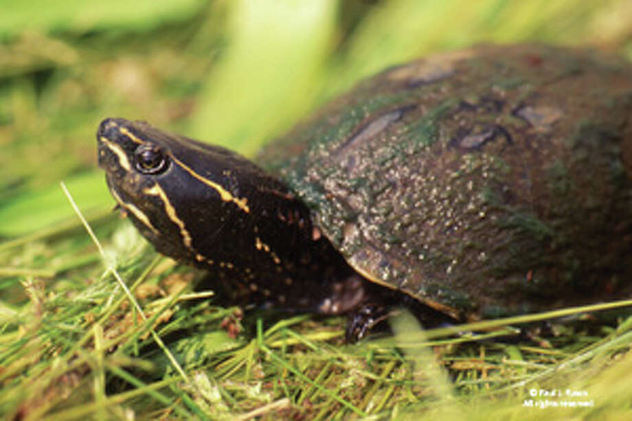 Common musk turtle Photo: Connecticut Department Of Energy And Environmental Protection.
