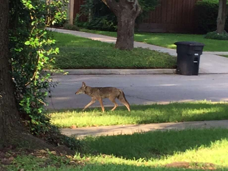 This coyote was spotted June 2, 2015, near Academy and Bluebonnet in in southwest Houston. Photo: Courtesy Simon Mayer