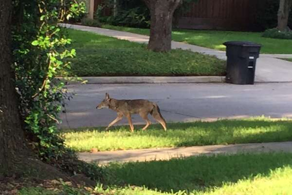 Wild Animals In The City Its Time To Stop Being Surprised