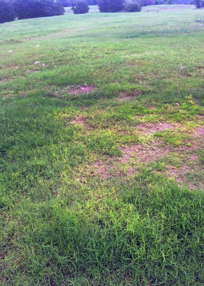 Dead patches in Bermuda grass likely are caused by Take-All Root Rot, a fungal disease. Photo: Courtesy Photo