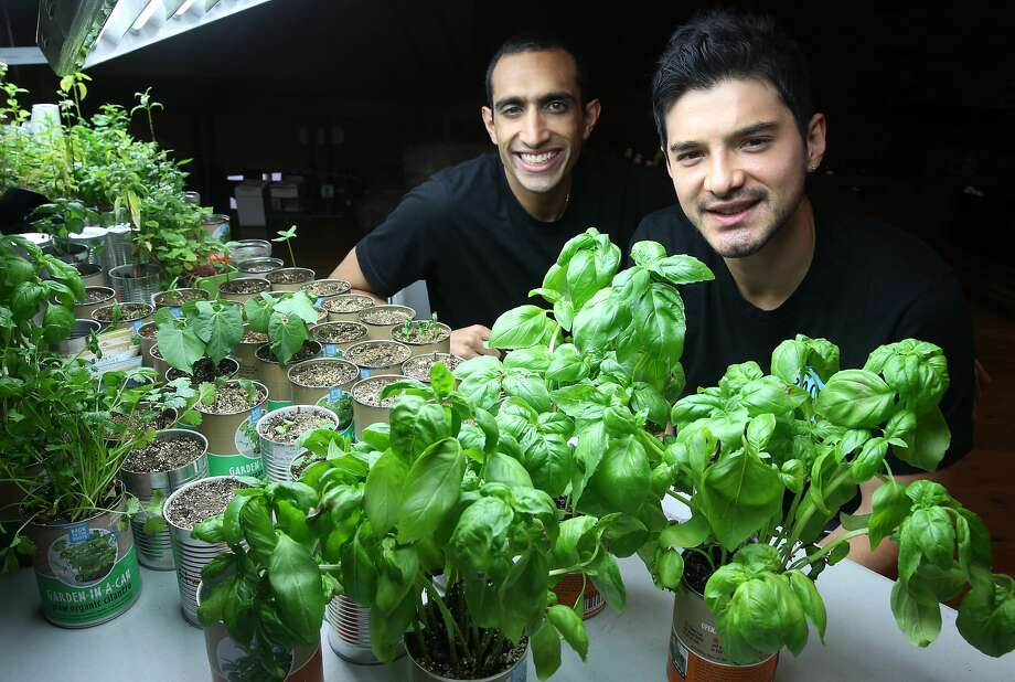 Nikhil Arora (left) and Alejandro Velez, cofounders of Back to the Roots, check fresh basil growing out of a can at their office near Jack London Square in Oakland, Calif. on Friday, June 5, 2015. The entrepreneurs started their business with a mushroom kit that grows out of a box and have expanded to include a new cereal and an herb growing kit in a can. Photo: Paul Chinn, The Chronicle