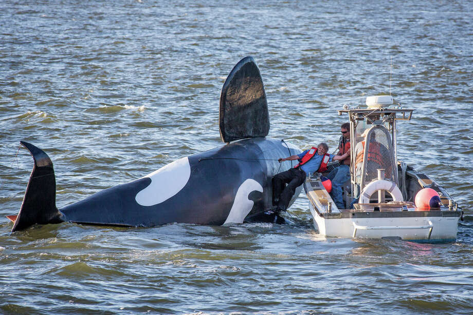 John Wifler, pilot of the fake fiberglass orca intended to scare off nuisance sea lions, is pulled from the capsized vessel in Astoria, Ore., on Thursday  Photo: Joshua Bessex, MBO / THE DAILY ASTORIAN