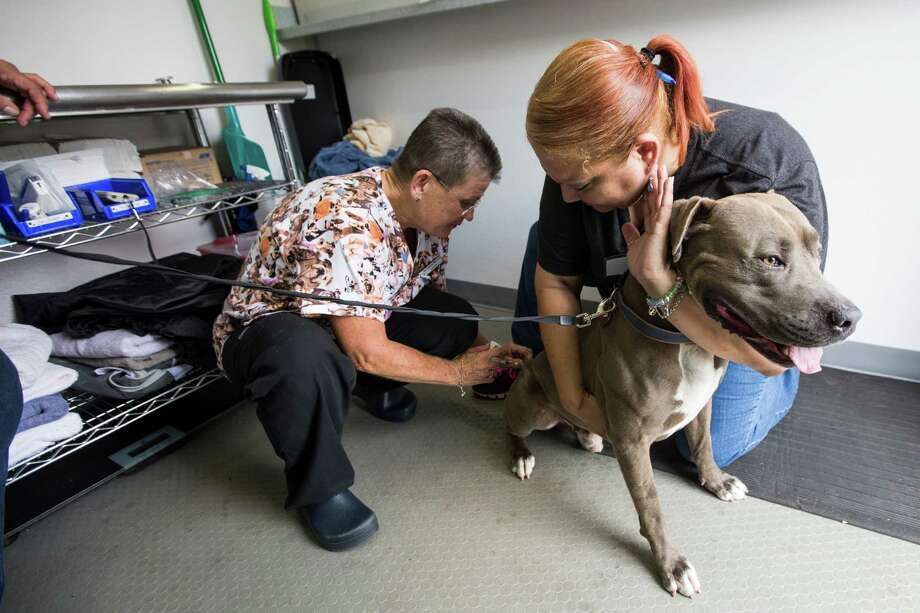 Denise Romero holds pit bull Ace as Dr. Debbie Wysocki administers a vaccination during the grand opening of nonprofit veterunary clinic Emancipet Houston on Saturday.  Photo: Brett Coomer, Staff / © 2015 Houston Chronicle