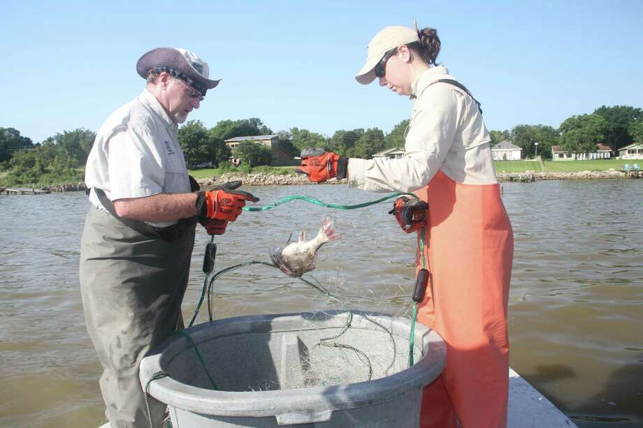 Texas Parks and Wildlife Department coastal fisheries staffers Glen Sutton and Claire Iseton retrieve a gill net set in Galveston Bay as part of the nation's longest continuously running state marine fisheries monitoring program. TPWD's standardized spring and fall gill net sampling programs began in 1977.
