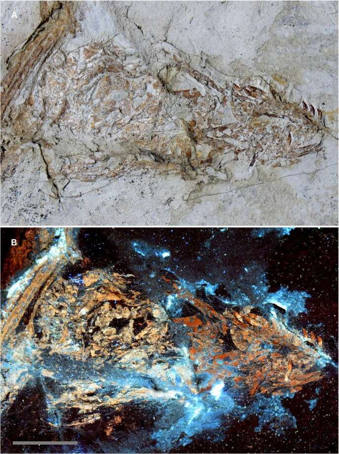 Is this Microraptor skull a composite?A: The skull under white light shows subtle color differences. B: Under laser-light stimulation the bone fluoresces from differences in fossil mineralogy, indicating the skull is likely a composite. Photo: KU News Service / University Of Kansas