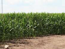 Medina County deputies found a burned body in a corn field on County Road 482 in Castroville on June 8, 2015.