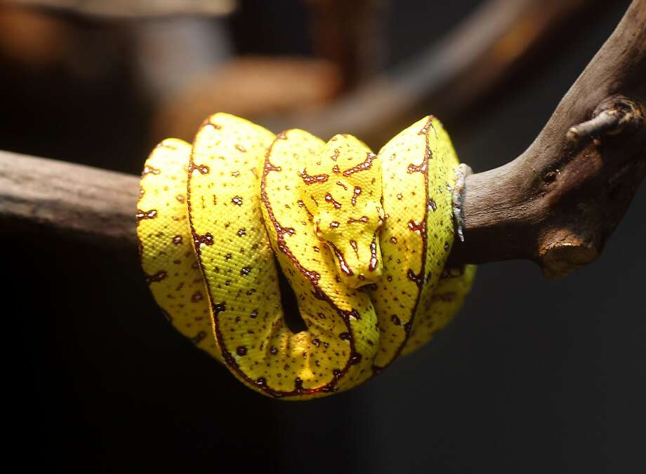 A young green tree python, now yellow, will turn green as it ages and moves up in the canopy of a tree. The California Academy of Sciences in San Francisco, Calif. is opening a new exhibition of animals that change color in the course of their lives to disguise themselves or just blend into their environment. Photo: Brant Ward, The Chronicle