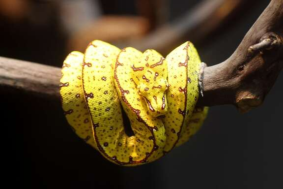 A young green tree python, now yellow, will turn green as it ages and moves up in the canopy of a tree. The California Academy of Sciences in San Francisco, Calif. is opening a new exhibition of animals that change color in the course of their lives to disguise themselves or just blend into their environment.