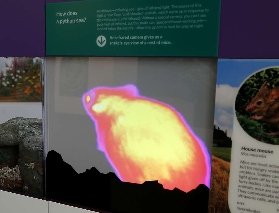 One exhibit shows the way a mouse would appear to a python that sees infrared light. Photo: Brant Ward, The Chronicle