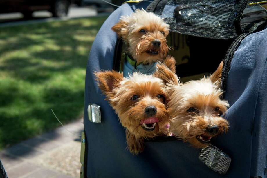 """Virgil and Lacey Tanner's Yorkshire Terriers -- Bug, Doodle, Cecil and Hazel -- pop their heads out of their biking carriage on Tuesday, June 9, 2015 in San Antonio's Travis Park. Virgil """"Evan"""" Tanner and his wife, Lacey, along with their Yorkies are biking across the country from Ocean Beach California to St. Augustine, Florida to raise awareness about the harmful effects of drugs. Virgil and Lacey are riding in honor of Tanner's brother, Damon, who died two years ago after taking unprescribed pain pills. """"Despite the hardships, there's a reason we're doing it,"""" Virgil said. Photo: Matthew Busch, For San Antonio Express-News / For San Antonio Express-News / © Matthew Busch"""