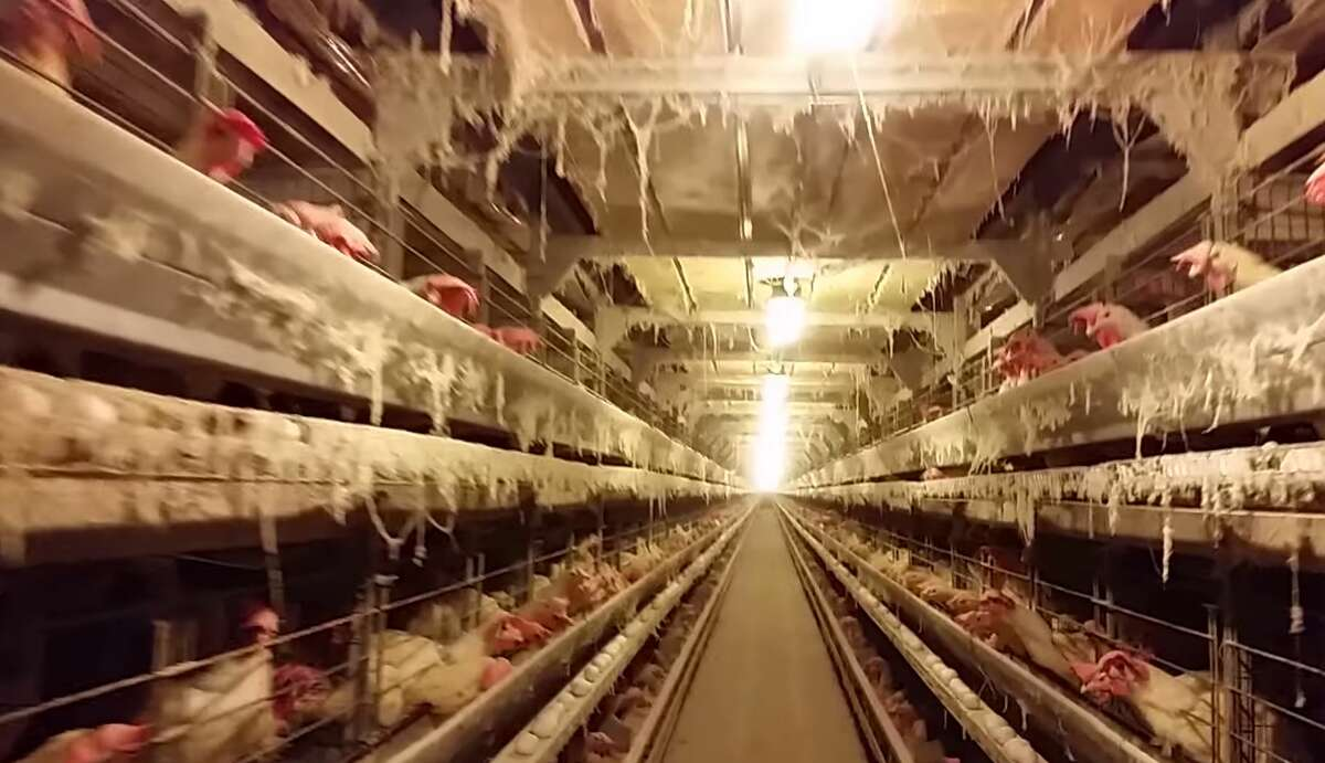 The Humane Society of the United States on Tuesday released undercover video footage it said shows the mistreatment of birds and unsanitary conditions at a major national egg supplier in the state.