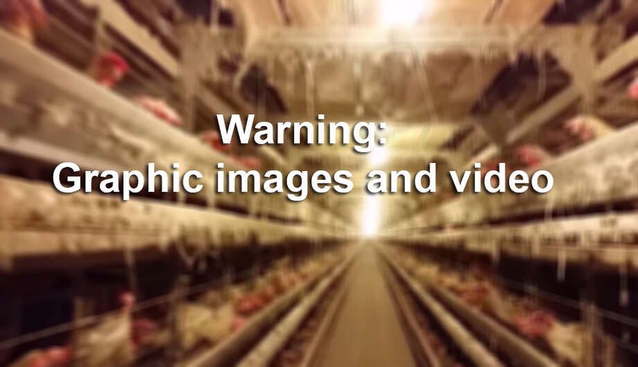 The Humane Society of the United States on Tuesday released undercover video footage it said shows the mistreatment of birds and unsanitary conditions at a major national egg supplier in the state. Photo: Guerrero, Salvador D, The Humane Society Of The United States