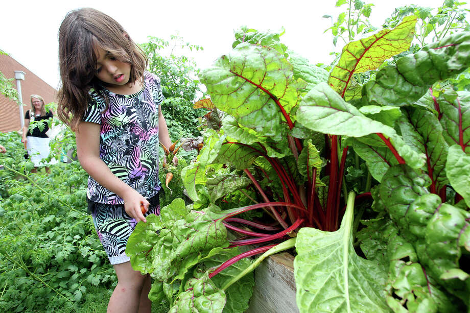 Brenna Green sorts through chard leaves as third grade students tend to their garden at Oak Creek Elementary in New Braunfels . Photo: Tom Reel / San Antonio Express-News