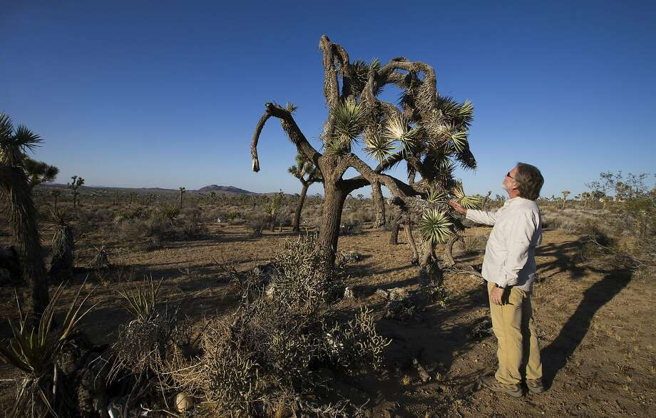 U.C. Riverside ecologist Cameron Barrows inspects the dead, angular branches and drooping fronds of a drought-stricken Joshua Tree in the lower elevations, just outside the northwest corner of Joshua Tree National Park on June 3, 2015, in Joshua Tree, Calif. (Allen J. Schaben/Los Angeles Times/TNS) Photo: Allen J. Schaben, McClatchy-Tribune News Service