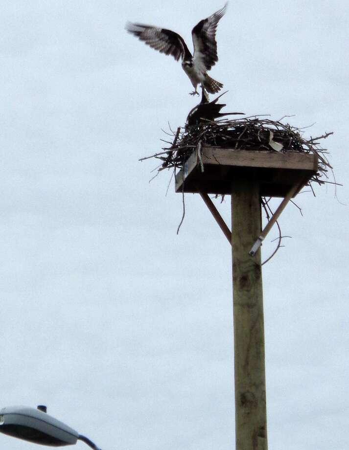 An osprey returns to a nesting platform. Photo: Meg Barone / / Westport News