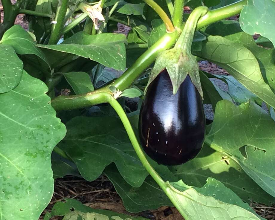 Eggplant is among the vegetables that can be planted not. Photo: Houston Chronicle File Photo