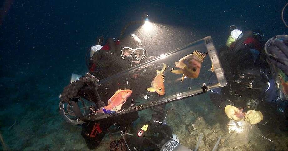 Steinhart Aquarium Director Bart Shepard collects fish in the Philippine Islands' Verde Island Passage. Photo: Elliott Jessup