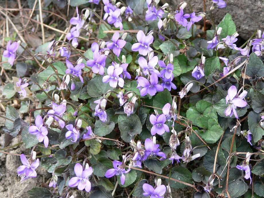Viola labradorica a perennial ground cover. Photo: Winfried Bruenken