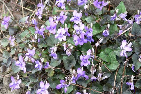 Ground cover - Viola labradorica