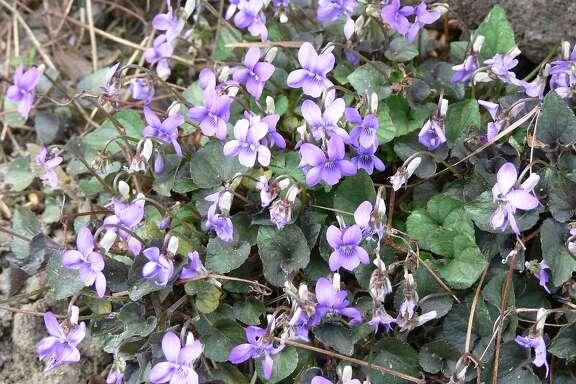 Ground cover - Viola labradorica