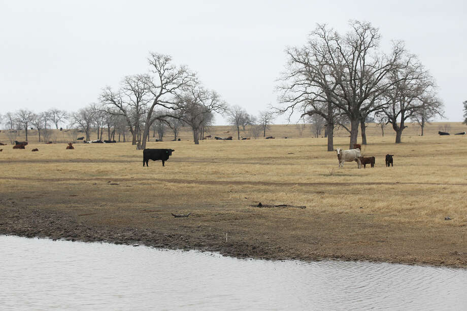 Cattle feed on land near a stock tank on land owned by Jason Peeler of Texana Feeders LTD, on Monday, February 3, 2014. Many feed lot owners kept animals longer in late 2015 with hopes prices would rise. The tactic put meatier animals on the market but ended up causing an emergency sell-off when the cattle got too big. Photo: Jerry Lara /San Antonio Express-News / © 2014 San Antonio Express-News