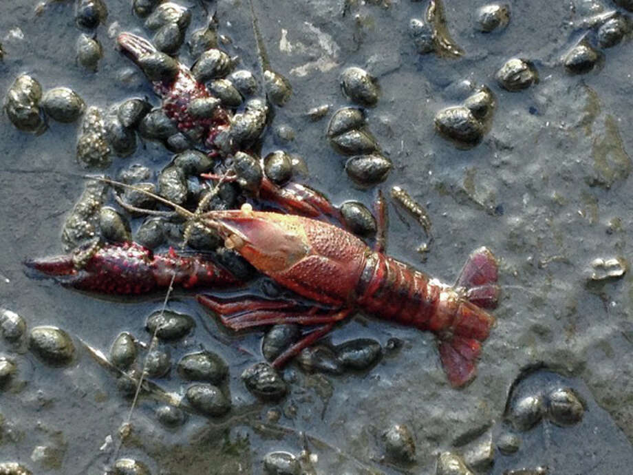 The molted shell of a crayfish, and others like it, were found off the south end of Grimes Road in Greenwich Cove this week. Photo: Contributed Photo / Contributed Photo / Greenwich Time Contributed