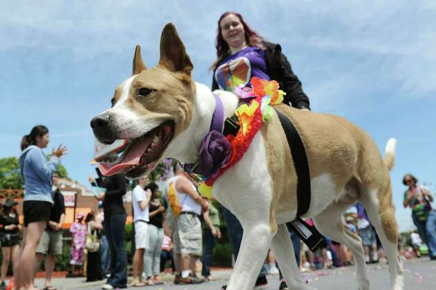 Dogs take part in the Capital PRIDE Parade on Saturday, June 13, 2015, in Albany, N.Y. (Cindy Schultz / Times Union) Photo: Cindy Schultz / 00032232A