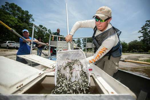 The rise in Texas lake levels over recent weeks means much-improved chances of survival for young-of-the-year fish, including these 75,000 hatchery-produced Florida-strain largemouth bass released into Lake Houston this past month. Photo: Andrew Buckley, MBR / Conroe Courier