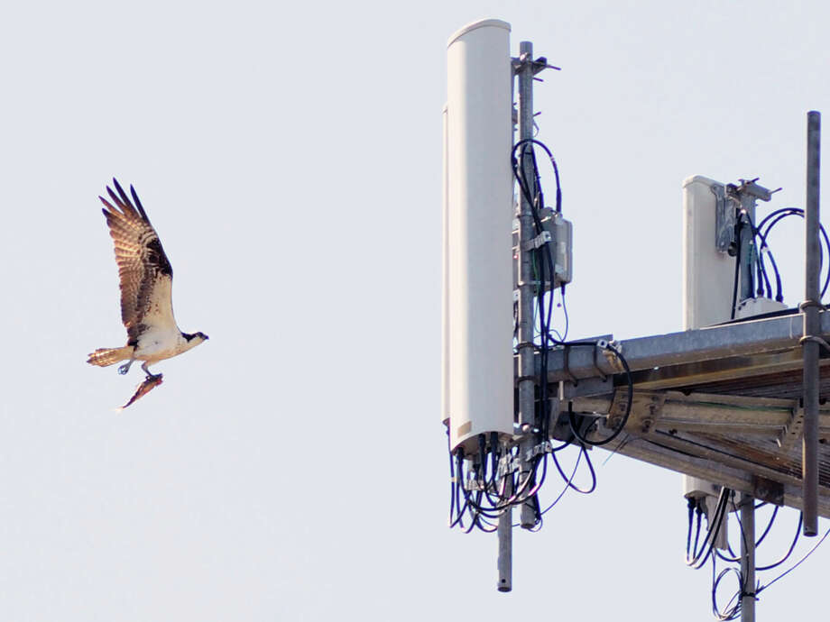 An osprey with a fish in its talons makes its way to its nest located on the platform of a communications tower near Cos Cob park in Greenwich Tuesday afternoon, April 28, 2015. The osprey, part of the large raptor family of birds is also known as a sea hawk. It hunts fish during the day. It has a wingspan of between 5-6 feet. Its scientific name is, Pandion haliaetus. Photo: Bob Luckey / Bob Luckey / Greenwich Time