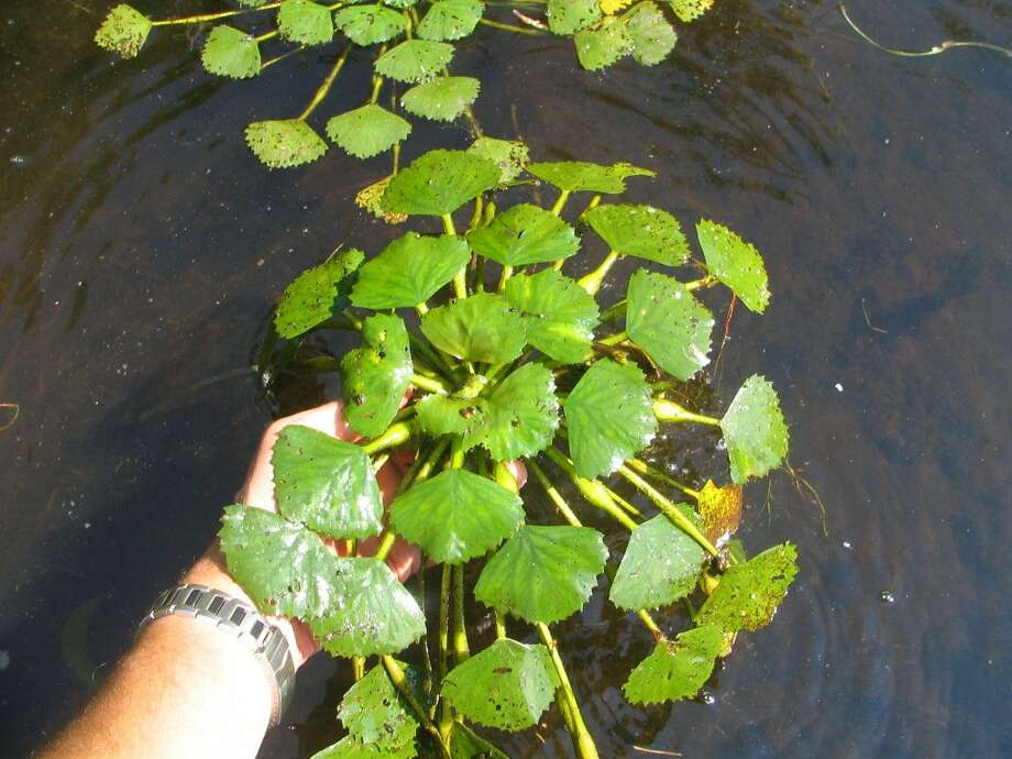 The water chestnut plant has a very distinct look and is hard to mistake with other plants. They can cover acres of water when clustered together. Photo: / Submitted