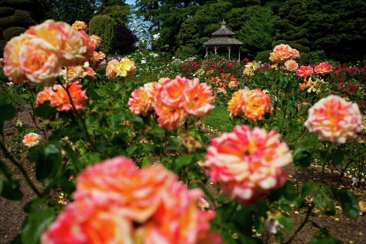 Scenes from around Woodland Park Zoo?•s Rose Garden as the grounds reached their color peak during the summer months, photographed Monday, June 15, 2015, in Seattle, Washington. The garden's extensive collection features 200 varieties and 3,000 individual plants including bush roses, hybrid teas, miniatures, climbers and tree roses. Color peaks between June and late September. The Rose Garden is free and open from 7:00 a.m. until dusk every day of the year.