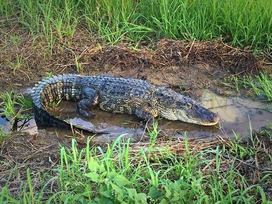 9 Foot Long Alligator Spotted Near North Texas Lake San