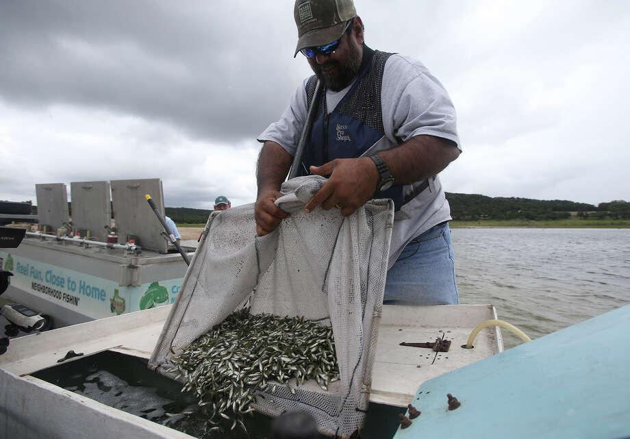 Jimmy Cordova of Texas Parks & Wildlife transfers largemouth bass fingerlings into a boat on Medina Lake. Photo: John Davenport / San Antonio Express-News / ©San Antonio Express-News/John Davenport