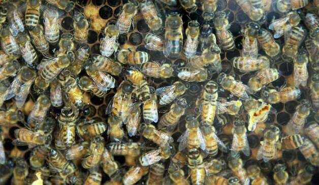 Honey bees in an observation hive at the Thacher Nature Center Tuesday June 16, 2015 in Voorheesville, NY.  (John Carl D'Annibale / Times Union) Photo: John Carl D'Annibale / 00032297A