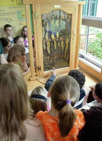 Second graders from Berne Knox Westerlo Elementary School watch honey bees in an observation hive during a  Pollinator Protection Week program at the Thacher Nature Center Tuesday June 16, 2015 in Voorheesville, NY.  (John Carl D'Annibale / Times Union) Photo: John Carl D'Annibale / 00032297A