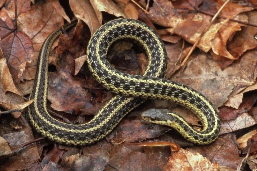 Common GartersnakeThe common gartersnake is perhaps the most common, widely distributed, and familiar of all North American snakes. There are many species, subspecies, and races of gartersnakes comprising the genus Thamnophis. In Connecticut, the gartersnake is found throughout the state, from sea level to the highest elevations, and from urban areas to
