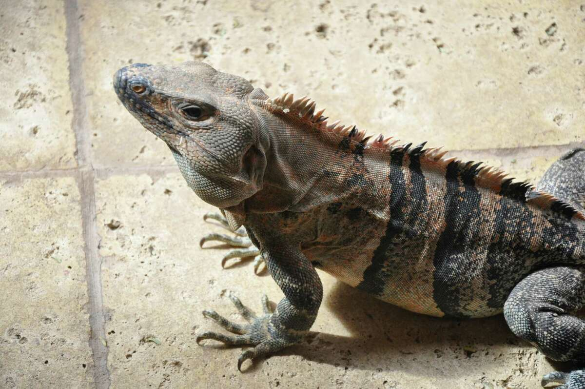 Feeling adventurous for Father's Day? Head to Cuchara for a special barbecue-themed weekend menu that includes iguanas.