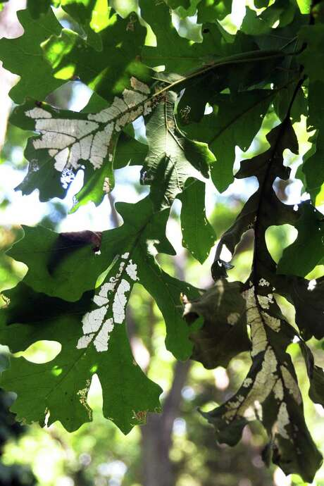 Sawfly larvae are responsible for skeletonized leaves on a bur oak. Photo: Courtesy Photo