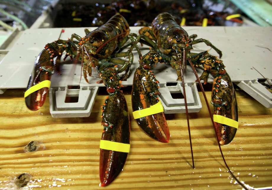 """FILE - In this June 12, 2015 file photo, a hardshell lobster, left, and soft-shelled """"shedder"""" look nearly identical prior to being boiled at the Clam Shack in Kennebunkport, Maine. American lobster prices are rising as the summer fishing season gets off to a slow start in New England. The season picks up after the bulk of lobsters sheds shells and reach legal harvesting size, and lobstermen said that hasn't happened yet. (AP Photo/Robert F. Bukaty, File) ORG XMIT: NYBZ118 Photo: Robert F. Bukaty / AP"""