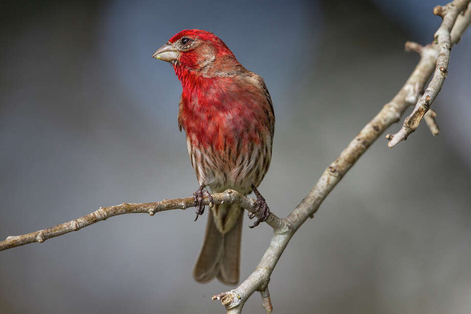 House finches were once rare in the Houston area but have become a common garden bird in recent years. Photo: Kathy Adams Clark / Kathy Adams Clark/KAC Productions