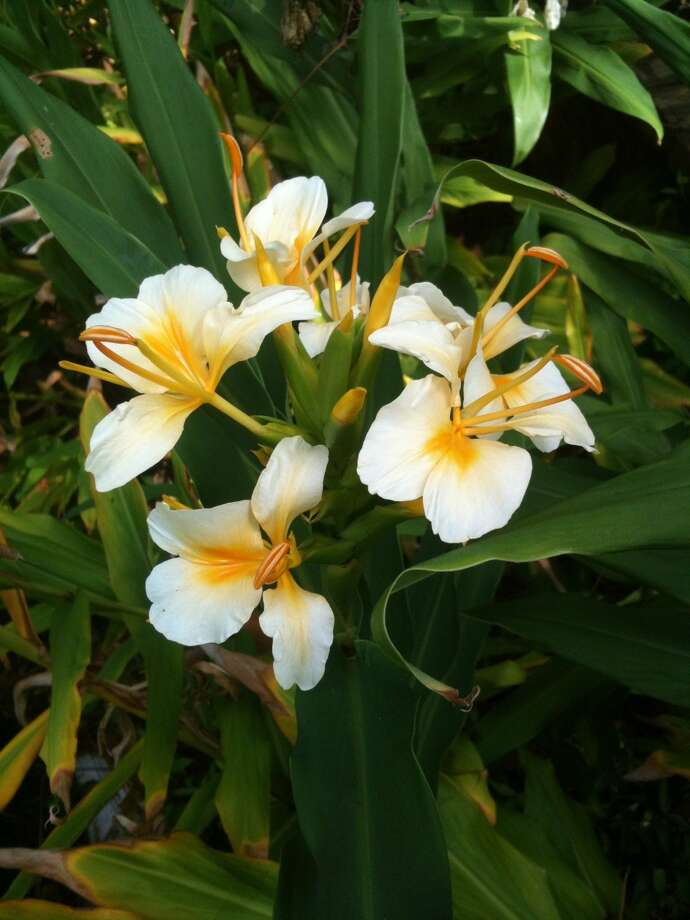 Learn to grow gingers, such as Hedychium 'Gold Flame,' during a class at Buchanan's Native Plants.