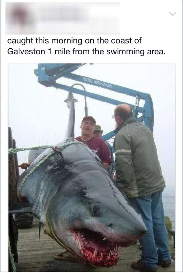 A photo of a giant shark supposedly caught in Galveston was posted to Facebook where it went viral. The image actually shows a shark caught in Nova Scotia in 2004.  See more Houston tall tales, urban legends, frauds and scams ...