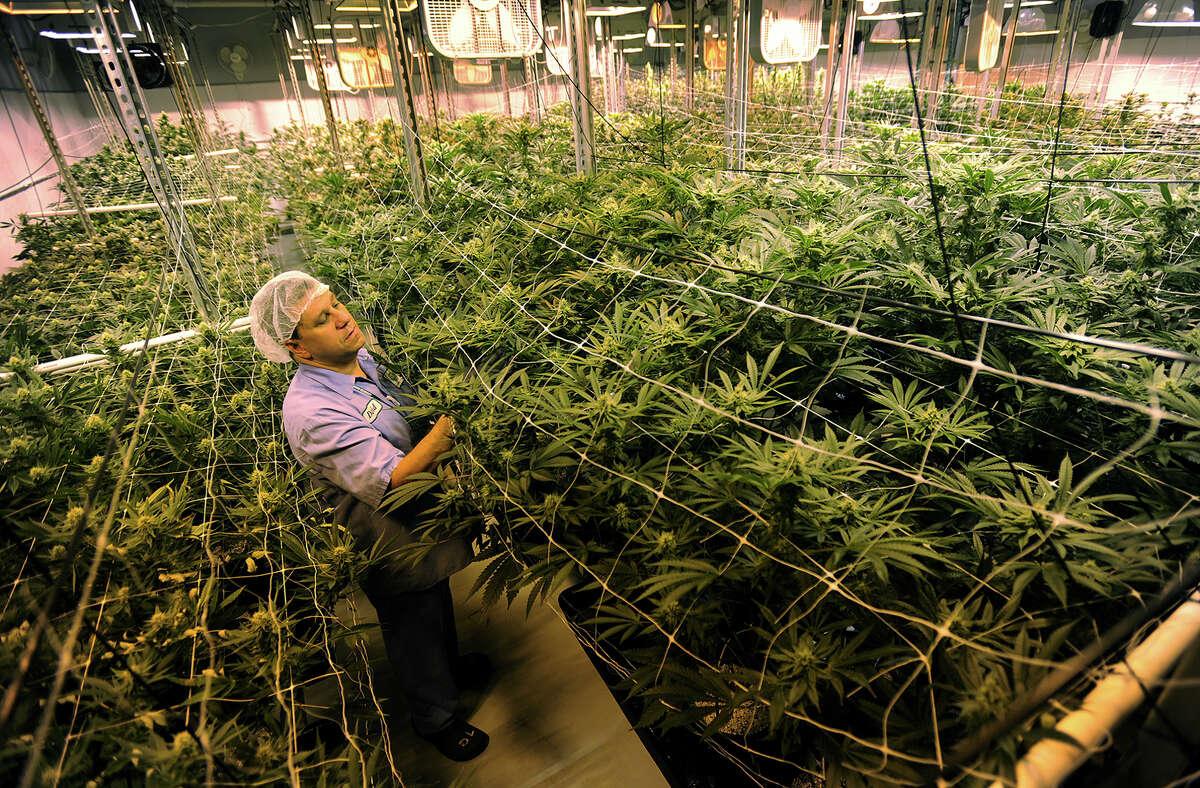 Managing Partner David Lipton in a medical marijuana grow room at Advanced Grow Labs in West Haven.